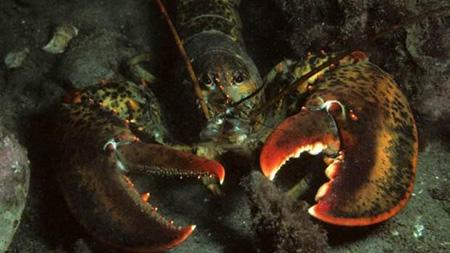 طولانی ترین عمر دربین جانوران متعلق به کدام حیوان است,خرچنگ