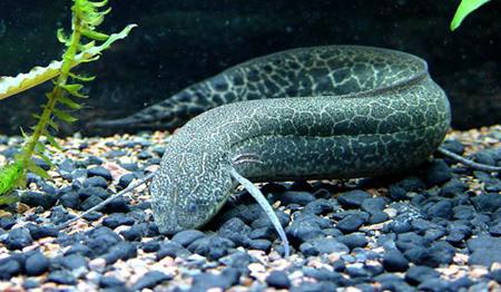 دوران ماهی لانگ فیش,زنده ماندن ماهی بدون آب و غذا