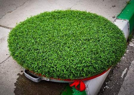 روش کاشت سبزه عید,آموزش کاشت سبزه عید