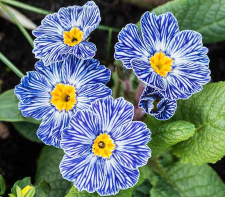 عکس گل پامچال, پرورش گل پامچال, اطلاعات گل پامچال