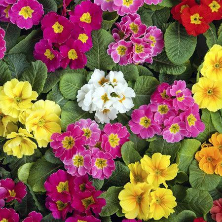 اطلاعات گل پامچال, بذر گل پامچال, تکثیر گل پامچال