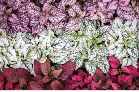 پرورش و نگهداری گل سنگ, روش نگهداری گل سنگ, نحوه تکثیر گل سنگ