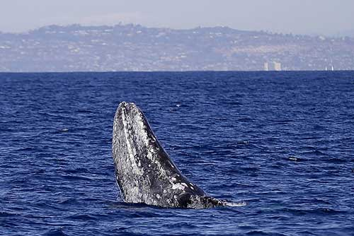 نهنگ ولگرد,اخبارگوناگون,خبرهای گوناگون