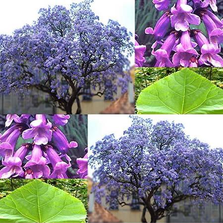 درخت پالونیا, پرورش درخت پالونیا, کاشت و پرورش درخت پالونیا