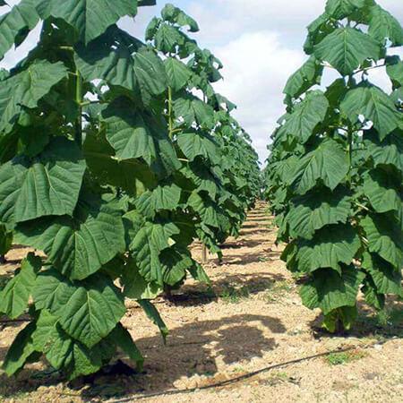 کاشت درخت پالونیا, شرایط کاشت درخت پالونیا, کاشت و نگهداری درخت پالونیا