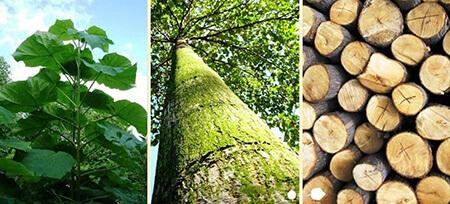 تصاویر درخت پالونیا, کاشت و پرورش درخت پالونیا, کاشت درخت پالونیا